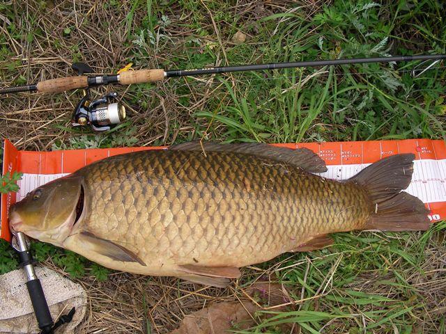 鯉 90cm 13.5kg その2