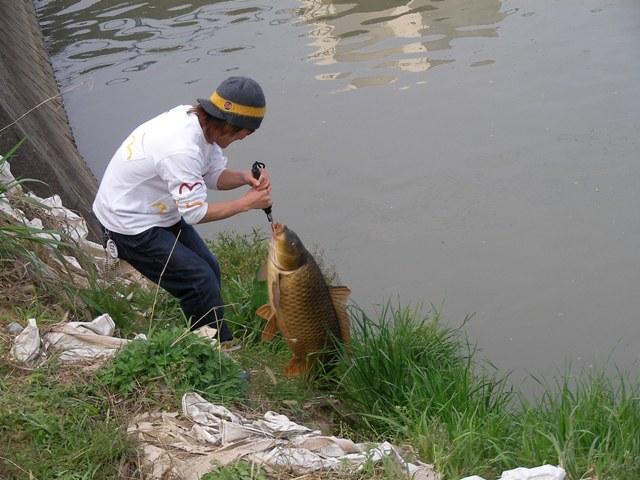 鯉 90cm 13.5kg その3